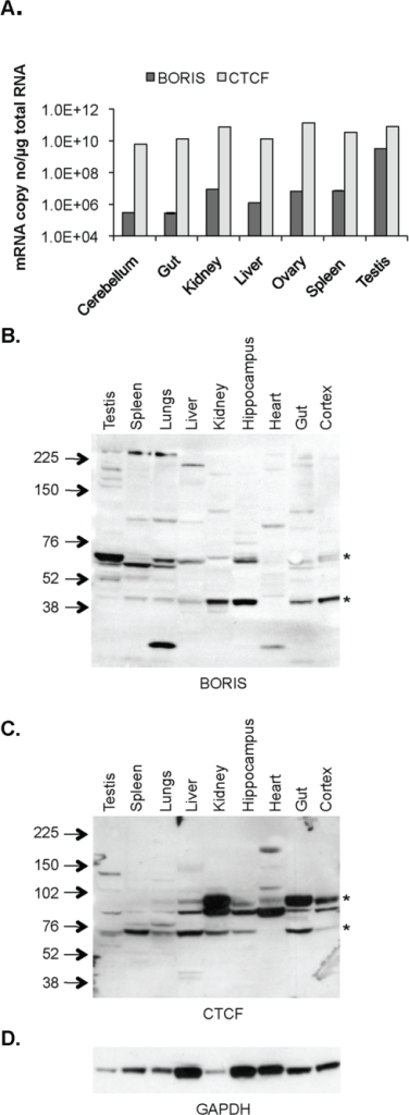 BORIS and CTCF expression in mouse tissues.A, BORIS and CTCF mRNA levels in selected normal mouse tissues. B, Western blotting for BORIS showing major bands (*) at 60–70 KDa and 45 KDa in mouse tissues. C, Western blotting for CTCF showing bands (*) between 70–100 KDa in mouse tissues. D, GAPDH was used as a control for loading differences. GE Healthcare Full Range Rainbow Marker, RPN800E, was used for determination of band size. Error bars in (A) represent the standard deviation