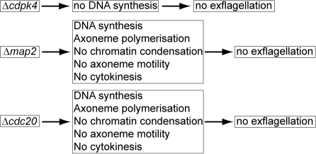 Summary of phenotypes in mutants of cdpk4, map2 and cdc20.Cdpk4 mutants have been shown to arrest DNA synthesis after activation, whereas cdc20 mutants show a similar phenotype to map2 mutants.