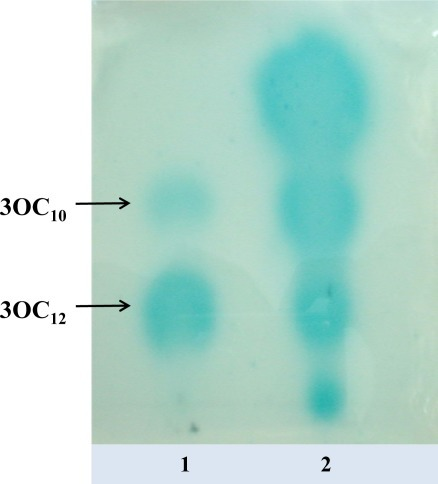 Detection of AHLs with long acyl chain by thin layer chromatography.The TLC plate was overlaid with the biosensor A. tumefaciens NTL4 (pZLR4). Lane 1, long chain 3-oxo-standards. Lane 2, 10 μL ethyl acetate extract from supernatant of liquid culture of strain 62B.