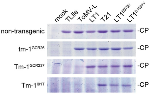 Tm-1I91T inhibits the multiplication of LT1, but not LT1E979K or LT1D1097Y.Protoplasts isolated from transgenic BY-2 cells expressing tm-1GCR26, Tm-1GCR237, or Tm-1I91T, or non-transgenic BY-2 cells were inoculated with TLIle, ToMV-L, LT1, T21, LT1E979K, or LT1D1097Y by electroporation. At 20 hpi, protoplasts were harvested and coat protein (CP) accumulation was analyzed by SDS-PAGE and Coomassie blue staining.