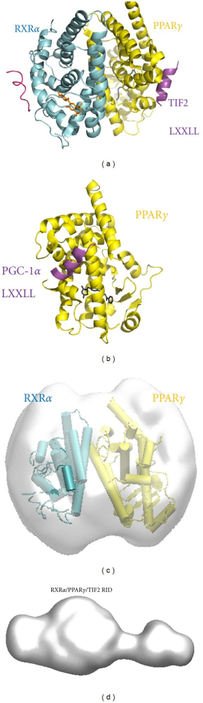 Molecular envelope of PPARγ/RXRα LBDs complexes and comparison with the crystal structure of PPARγ/RXRα LBDs. (a) Crystal structure of PPARγ/RXRα LBDs in complex with TIF2 coactivator peptide (PDB ID: 1H0A) shown in schematic cartoon representations with PPARγ in yellow, RXRα in cyan, and the coactivator peptides in pink. (b) Crystal structure of PPARγ LBD bound to PGC-1α NR2 motif (PDB ID: 3CS8). (c) Molecular envelopes of the complexes PPARγ/RXRα LBDs (grey surface) together with the crystal structure of the complex. (d) Molecular envelope of the complexes TIF2 RID/PPARγ/RXRα LBDs (grey surface).