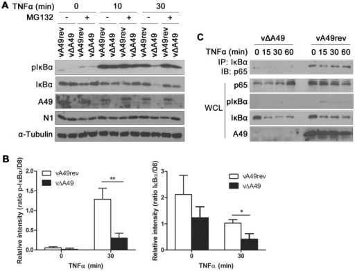 A49 interferes with IκBα degradation during viral infection.(A) HeLa cells were infected with vA49rev or vΔA49 at 10 PFU/cell for 4 h, treated for 1 h with MG132 (20 µM) or vehicle only, and then stimulated with TNFα (200 ng/ml) as indicated. Cell extracts were separated by SDS-PAGE and analysed by immunoblotting with the antibodies indicated. N1 immunoblotting served as control for viral infection. (B) HeLa cells were infected and treated with TNFα in triplicate as in (A) and cell extracts were analysed by quantitative fluorescence immunoblotting. The amounts of p-IκBα and IκBα are shown as ratios compared with VACV protein D8. *p<0.05 or **p<0.01 comparing vA49rev with vΔA49. (C) HeLa cells were infected with vA49rev or vΔA49 at 10 PFU/cell for 6 h and then stimulated with TNFα (200 ng/ml) as indicated. Cells were then lysed in IP buffer and the lysates were immunoprecipitated with anti-IκBα antibody and immunoblotted for p65. In each assay, 2% of WCL of each sample was immunoblotted with the indicated antibodies.