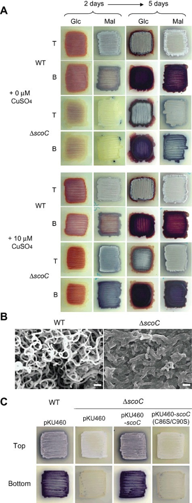 Phenotype of the scoC mutant of S. coelicolor A3(2). A. Macroscopic observation of the wild‐type strain (WT) and the scoC mutant (ΔscoC). Colonies were photographed at days 2 and 5 from the top (T) and bottom (B) to show the occurrence of aerial mycelium and the pigment antibiotic actinorhodin respectively. Strains were grown at 28°C on Bennett's solid medium containing 1% glucose (Glc) and maltose (Mal) without and with 10 µM CuSO4. Colonies forming aerial mycelia appear white, whereas those forming only substrate mycelium appear yellow or light brown. The purple or blue colour is due to the production of the pigmented antibiotic, actinorhodin. Streptomyces coelicolor also produces an intracellular red pigment undecylprodigiosin. B. Scanning electron microscopy observation of the wild type and the scoC mutant grown for 3 days on Bennett's/glucose solid medium. Bar, 2 µm. C. Macroscopic observation of the genetically complemented scoC mutant. The scoC mutants harbouring the empty integration vector (pKU460), and pKU460 containing the intact (pKU460‐scoC) and mutated [pKU460‐scoC (C86S/C90S)]scoC‐coding sequence, were grown on Bennett's/maltose medium for 2 days. The wild type harbouring pKU460 is also shown.