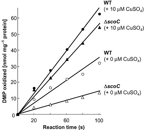 DMP‐oxidizing activity of S. griseus. The wild‐type strain and scoC mutant of S. griseus grown for 5 days in Bennett's/maltose solid medium (without/with 10 µM CuSO4) were studied for DMP‐oxidizing activity by measuring the increment of absorbance at 550 nm (Endo et al., 2003).
