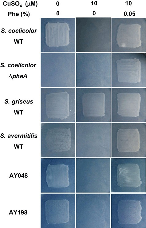 Copper‐dependent phenylalanine auxotrophy in Streptomyces spp. Strains were cultured on minimal agar medium without/with 10 µM CuSO4 and 0.05% phenylalanine. Colonies of the wild type and pheA mutant of S. coelicolor A3(2), wild‐type strains of S. griseus and S. avermitilis, and two environmental isolates are shown. Patches were photographed at 2 days.