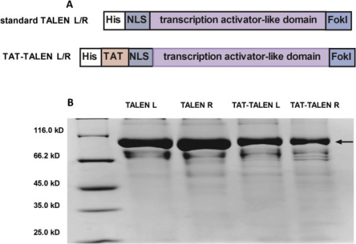 Purification of standard TALENs and TAT-TALENs. (A) Schematic diagram of standard TALENs and TAT-TALENs. (B) SDS-PAGE analysis of four TALEN proteins stained with Coomassie blue after purification.