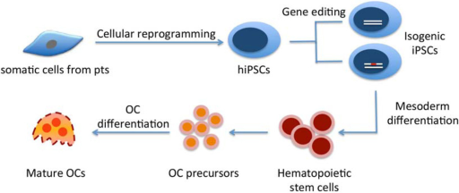 Summary of generating osteoclasts from human iPSCs.