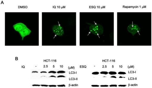 Ilimaquinone and ethylsmenoquinone induce autophagy in HCT116 cells. (A) Representative images of the punctate distribution of GFP-LC3-labeled in HCT-116 cells 24 h after exposure to IQ and ESQ; (B) HCT116 cells were treated with IQ and ESQ for 24 h or DMSO for 24 h. Cell lysates were separated on 15% SDS-PAGE and analyzed by western blot using anti-LC3 antibody. Results are representative of three independent experiments.