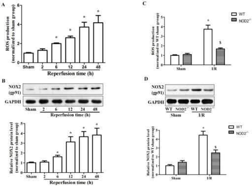 NOD2 deficiency inhibited NADPH oxidase activity and NOX2 expression after cerebral ischemia-reperfusion injury. (A) Summarized data showing NADPH oxidase activity (reactive oxygen species production) in the penumbral cortex from WT mice after 2 h MCAO and 2 h, 6 h, 12 h, 24 h and 48 h reperfusion. (B) Western blot analysis of NOX2 protein levels in the penumbral cortex from WT mice after 2 h MCAO and 2 h, 6 h, 12 h, 24 h, 48 h reperfusion. (C) Summarized data showing NADPH oxidase activity in the penumbral cortex from NOD2 deficiency mice at 24 h after reperfusion. (D) Western blot analysis of NOX2 protein levels in the penumbral cortex from NOD2 deficiency mice at 24 h after reperfusion. Results are representative of six independent experiments. * P<0.05, vs. sham-operated WT mice; # P<0.05, vs. sham-operated NOD2-/- mice; $ P< 0.05, vs. I/R WT mice.