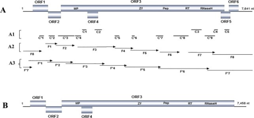 Genome organization of Taro bacilliform CH virus (TaBCHV).The putative ORFs of TaBCHV are indicated by rectangles, domains identified within ORF 3 are shown (A), contigs obtained from samples T1 (C1– C5) and T2 (C'1–C'9) are presented by black lines (A1), and fragments F1–F8 amplified from the first cycle of PCR (A2) and F'1–F'7 amplified from the second cycle of PCR (A3) are represented by arrows. The genome organization of Taro bacilliform virus (TaBV) (B) is outlined to show its difference with that of TaBCHV.