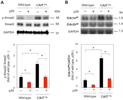 p29 inhibits activation of intramuscular myostatin signaling in caveolin 3-deficient LGMD1C model mice.Immunoblot (n = 5). (A) and northern blot (n = 7). (B) analyses of TA muscles treated with or without p29 (upper). Densitometric analyses (lower). Values are mean ± SD fold increases compared with untreated wild-type muscles. *P < 0.05.
