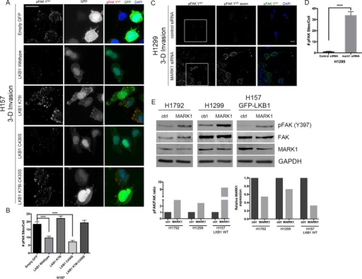LKB1 regulates pFAK activity through its kinase domain. (A) Spheroids of H157 cells stably expressing either empty GFP control or GFP-tagged LKB1 constructs embedded in a collagen type I matrix. After 24 h, cells were fixed and stained by immunofluorescence for pFAKY397, GFP, and DAPI. (B) Total number of pFAKY397 sites for each experimental group in A was quantified. (C) Expression of pFAKY397 was examined by immunofluorescence of spheroids after 24 h of invasion. DAPI was used to stain the nuclei of the cells. (D) The total number of pFAKY397 sites per cell was quantified from the images obtained in C. ****p ≤ 0.0001. (E) Western blot showing pFAKY397 expression after MARK1 siRNA depletion in H1792, H1299, and H157 LKB1 WT cells compared with scrambled control siRNA. GAPDH was used as a loading control. Bottom, densitometry analysis of phospho to total FAK ratio (left) and relative MARK1 expression (right) in control siRNA– and MARK1 siRNA–treated cells.