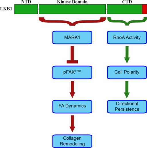 Model. LKB1 provides kinase-dependent and -independent mechanisms of regulating cell polarity during invasion. Through the LKB1 CTD and its farnesylation, LKB1 activates the Rho-GTPase RhoA to promote mesenchymal polarization and strong directional persistence during invasion. Independent of its CTD, LKB1 kinase activity phosphorylates MARK1 to repress the active form of focal adhesion kinase (pFAK), leading to regulation of focal adhesion dynamics and collagen remodeling during 3D invasion.