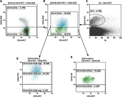 Example of SVF flow cytometric analysis. A: CD16-positive monocytes were first identified and delineated in the blood sample (left, CD16-positive macrophages in the upper part). The settings were fixed and subsequently used for SVF analysis (B). Total macrophages in SVF were identified by positivity for CD14 (C), and, based on the CD16 marker, two subpopulations were distinguished (B, CD16-positive macrophages in the upper part). The CD16+ subpopulation was divided according to the CD36 marker (D), with the highly positive subpopulation at the top and the low positive in the middle (based on blood macrophage analyses). E: CD163 expression was determined within the CD16-negative subpopulation and divided (CD163-positive macrophages in the upper part). This scheme is partly simplified, as a few minor fractions (already measured) are not mentioned.