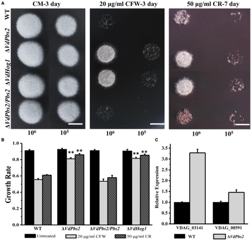 Loss of VdPbs2 increases resistance to cell wall stress. (A) Stress responses of wild type, ΔVdPbs2, ΔVdPbs2/Pbs2, and ΔVdHog1 strains on CM containing 20 μg/ml CFW and 50 μg/ml CR, respectively. Images were taken at 3 dpi for CFW and 7 dpi for CR. In all assays, the plates were inoculated with conidial solution of wild type, ΔVdPbs2, ΔVdPbs2/Pbs2, and ΔVdHog1 strains. Conidial suspension (105/ml and 106 /ml) of the individual strain were spotted on CM media containing the indicated concentration CFW and CR, Scale bar = 0.5 cm. (B) Relative growth of wild type, ΔVdPbs2, ΔVdPbs2/Pbs2, and ΔVdHog1 strains treated by the indicated cell stress. Error bar represents standard deviation. Asterisk indicates significant difference at P < 0.01. (C) The expression of two genes (VDAG_08591 and VDAG_03141) involved in chitin synthesis was increased in the ΔVdPbs2 mutant. Error bars indicate standard deviations derived from three independent experiments consisting of three replicas each.
