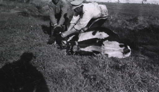 <p>Two men (soldiers?) tie a steer at their field slaughterhouse.</p>