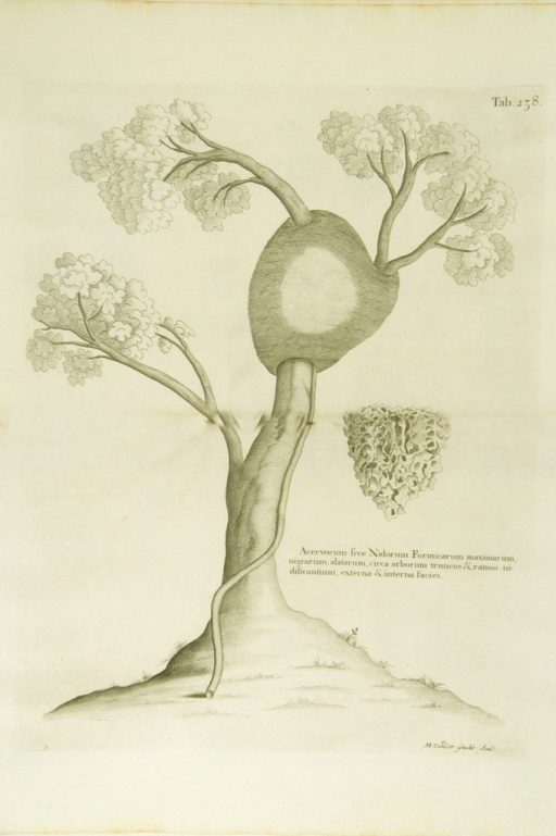 <p>Illustration of a nest of winged black ants attached to the branches of a tree.</p>
