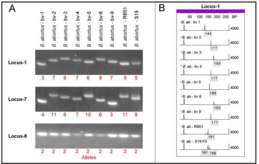 Analysis of allele variability by agarose gel electrophoresis and fluorescent tagged capillary electrophoresis. [A] Amplified fragments from three representative VNTR loci were resolved by electrophoresis in a horizontal gel composed of 3% Metaphor agarose. Sample identifications are given above their respective lanes. Calculated alleles (repeat units) are provided in red under each product. Product sizes range from 143–193 bp (Locus 1); 91–157 bp (Locus-7); and 86 bp (Locus-8). [B] Electropherograms generated from the capillary electrophoresis of fluorescently tagged products amplified from VNTR Locus-1 of the same strains assayed in Panel A. Product sizes (in bp) are shown in boxes below the major peaks. Sizes were calculated by the GeneScan software relative to the GeneScan 500-ROX size markers included in each sample as an internal standard. The vertical axis is the relative peak height of the detected fluorescent products. The first major peak in each electropherogram is the run-through of unincorporated primer.