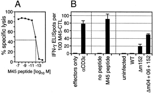 M45 peptide is only presented in cells infected with immune evasion gene deletion mutants. An M45 epitope-specific, polyclonal CTLL was derived from mCMV-WT–infected C57BL/6 mice. (A) Cytolytic effector function and affinity of M45-CTLL. EL4 target cells were pulsed with the indicated molar concentrations of M45 peptide. Lysis of target cells was measured at an E/T ratio of 15. Dot symbols represent mean values of triplicate assay cultures. (B) Presentation of M45 peptide measured by the number of M45-CTLs that respond in the ELISPOT assay. For stimulator cells and statistical analysis, see the legend of Fig. 1.