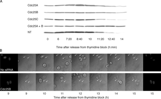 The delay caused by siRNA to Cdc25A or -B occurs before prophase. (A) Transfection of siRNA to Cdc25A or -B leads to a delay in cyclin A degradation. HeLa cells were transfected and synchronized, and at the indicated time points, samples were taken for immunoblotting using cyclin A antibodies. The time after release from a double thymidine block is indicated below and siRNAs to the left of the figure. NT, not transfected. (B) Cells microinjected with siRNA to Cdc25A or -B are delayed in G2 with uncondensed DNA. Time-lapse images were acquired as in Fig. 1 E of synchronized, siRNA-injected HeLa cells. Cells on a single glass-bottomed dish were microinjected with or without Cdc25B siRNA together with a pYFP-histone H2B plasmid. The first and last images show YFP-histone H2B fluorescence at the start and at the end of the experiment. The middle images were acquired with differential interference contrast. Bar, 10 μm.
