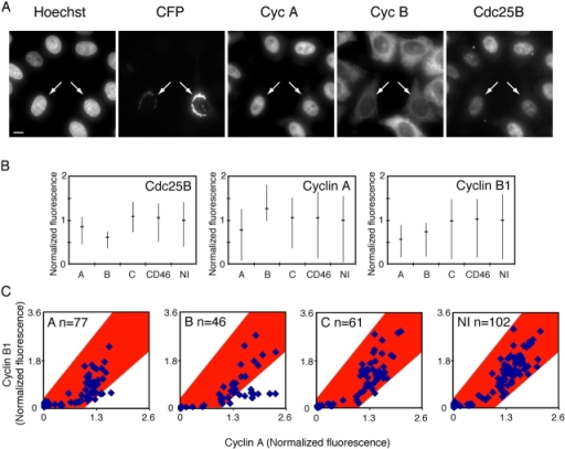 Cyclin accumulation is delayed in cells injected with siRNA to Cdc25A or -B. HeLa cells were microinjected with pCFP-Golgi as a marker for injected cells, together with siRNA to Cdc25A, -B, or -C, and fixed 8 h after release from a thymidine block. Cells were stained with antibodies to cyclin A, cyclin B1, and Cdc25B and the fluorescence was quantified as described in Materials and methods. (A) Example of images (maximum intensity projections) of cells injected with siRNA to Cdc25B. Microinjected cells (which express CFP-Golgi) are indicated by arrows. Bar, 10 μm. (B) Average fluorescence levels of Cdc25B (left), cyclin A (middle), and cyclin B1 (right) in siRNA-treated cells. The horizontal lines show the average, whereas the vertical lines visualize the quartiles of the quantified fluorescence. (C) Cyclin A and B1 fluorescence in single cells. Nuclear cyclin A levels (x axis) plotted against cytoplasmic cyclin B1 levels (y axis) for individual cells. In each graph the injected siRNA and number of quantified cells are shown. To facilitate the comparison, the area that includes all uninjected cells is marked in red and transferred to all graphs. As shown, a subset of cells injected with siRNA to Cdc25B express very little cyclin B1 but contain high cyclin A levels. NI, not injected.