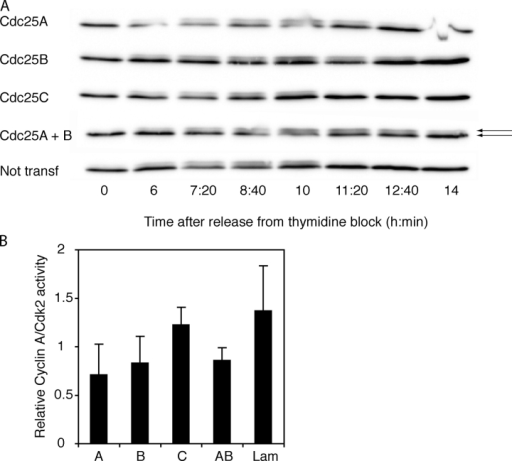 Reduced activities of both cyclin A–Cdk2 and cyclin B1–Cdk1 in lysates of cells transfected with siRNA to Cdc25A or -B. (A) Delayed dephosphorylation of Cdk1 in cells treated with siRNA to Cdc25A or -B. SiRNA-transfected synchronized cells were subjected to Cdk1 immunoblotting. Arrows indicate the faster migrating unphosphorylated Cdk1 (bottom band) and the slower migrating phosphorylated Cdk1 (top band). siRNAs are indicated to the left. A quantification of the ratios of inactive versus active Cdk1 is available in Fig. S1 (available at http://www.jcb.org/cgi/content/full/jcb.200503066/DC1). (B) Reduced activation of cyclin A–Cdk2 in cells treated with siRNA to Cdc25A or -B. Cyclin A was immunoprecipitated from siRNA-transfected cells 9 h after release from thymidine block. The ability of the immunoprecipitate to phosphorylate histone H1 as well as the amount of Cdk2 in the immunoprecipitate was assessed. Bars show average from three independent experiments of normalized ratio between cyclin A–Cdk2 activity and amount of Cdk2.