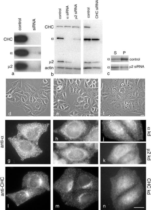 Effects of depleting AP-2 and clathrin heavy chain from HeLaM cells. (a) Equal protein loadings of homogenates of either control cells or cells treated with siRNAs directed against clathrin heavy chain, α-adaptin, or μ2 were subjected to SDS-PAGE, and Western blots were probed with antibodies against the indicated protein. Clathrin heavy chain and the AP-2 μ2 subunit were both undetectable after knockdown, whereas a weak signal (<5% of control) was detected after α knockdown. (b) Equal protein loadings of homogenates from control and siRNA-treated cells were subjected to SDS-PAGE, and Western blots were cut in four and probed with the indicated antibody. Anti-actin was included as a loading control. As well as affecting its target, the α siRNA causes a depletion in μ2, and the μ2 siRNA causes a depletion in α. (c) Homogenates of control and μ2-depleted cells were centrifuged at high speed, and supernatants and pellets were probed with anti-α. Knocking down μ2 increases the percentage of α in the supernatant. (d–f) Phase-contrast micrographs of cells treated with a control (nonfunctional) siRNA (d), cells treated with μ2 siRNA (e), and cells treated with clathrin heavy chain siRNA (f). The μ2 siRNA-treated cells look essentially normal. However, many of the clathrin heavy chain siRNA-treated cells are vacuolated, and nearly half are multinucleated. (g–k) Control cells (g), cells treated once with α (h) and μ2 (i) siRNAs, and cells treated twice with α (j) and μ2 (k) siRNAs were labeled with an antibody against the AP-2 α subunit. The labeling becomes patchy after one hit, and after both hits there is little or no label associated with the plasma membrane. (l–n) Control cells (l) and cells treated once (m) or twice (n) with a clathrin heavy chain siRNA were labeled with an antibody against clathrin. The signal disappears more uniformly than the AP-2 signal, again becoming undetectable on membranes after two hits. Bars, 20 μm.