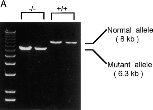 Characterization of WAS genotypes and thymocyte populations in WAS−/− mice. (A) Long-range PCR genotyping used in screening the ES clones. The wild-type (+/+) allele appears as an 8-kb fragment, and the mutant (−/−) allele appears as a 6.3-kb fragment. A molecular mass standard (1-kb ladder) is shown on the left. (B) Southern blot analysis for detection of targeted clones. BamHI-digested DNA from the respective clones was electrophoresed through 0.8% agarose, transferred to nitrocellulose, and the filters were hybridized with a 450-bp segment from the 5′ flanking region of the WAS gene. The 10.5-kb fragment represents hybridization to homologously targeted alleles, and the 6.5-kb band represents hybridization to the wild-type allele. (C) Spleen and thymus from WAS−/− mice are  for the expression of WASp. Splenocyte and thymocyte lysates from control (+/+) and WAS−/− mice were analyzed by Western blotting as described in Materials and Methods. The blot was probed with an anti-WASp polyclonal antibody (top panel). Equal loading was assessed by reprobing the blot with an anti–β-actin antibody (bottom panel). (D) Immunofluorescence analysis of T and B cell development in WAS−/− mice. Thymocytes and lymph node T cells from 4–8-wk-old WAS−/− and age-matched control (+/+) mice were assayed for CD4 and CD8 expression (top and middle panels) or expression of CD25 and CD44 (bottom panel). To analyze the early stages of thymic development, four-color staining of thymocytes was carried out by staining the cells with a cocktail containing allophycocyanin-labeled anti-CD3, anti-CD4, anti-CD8, anti–TCR-α/β, and anti-B220 antibodies, and subsequently with FITC-Ly9.1, biotinylated anti-CD25 (detected with Texas red–conjugated streptavidin), and PE-labeled anti-CD44. Fluorescence signals were evaluated using Becton Dickson FACScan™ and CELLQuest™ software and were gated to display CD25 versus CD44 on Ly-9.1+ (ES-derived) CD4, CD8, CD3 triple-negative cells (bottom panel). Numbers in the quadrants indicate percentages of different cell populations, while numbers below each panel indicate total number of thymic cells. Data shown are representative of four independent experiments.