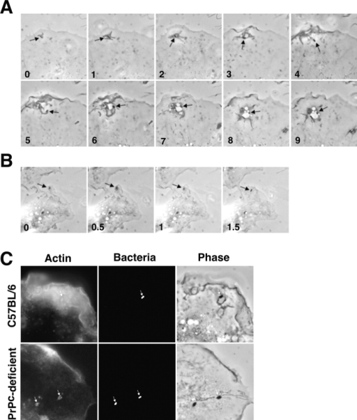 PrPC-regulated swimming internalization of B. abortus. (A and B) Selected time lapse videomicroscopic images of wild-type B. abortus entry into macrophages from normal (A) or PrPC-deficient C57BL/6 mice (B). Elapsed time in minutes is indicated at the bottom of each frame. Arrows point to bacteria. (C) Generalized actin polymerization after contact of macrophages with B. abortus. Bacteria were deposited onto macrophages from normal (top) or PrPC-deficient mice (bottom) and then incubated for 5 min, fixed, and stained for actin filaments. Phase contrast microscopy of the corresponding microscopic fields are shown. Arrows point to bacteria.