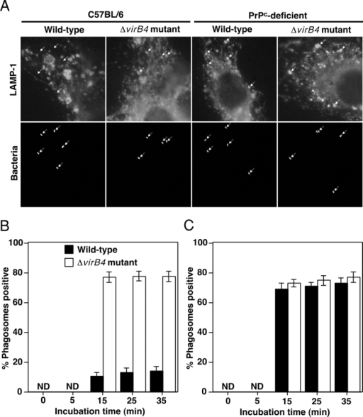 Colocalization of B. abortus with late endosomal and lysosomal marker LAMP-1 in macrophages from PrPC-deficient mice, assessed by immunofluorescence microscopy. (A) Macrophages from C57BL/6 or PrPC-deficient C57BL/6 mice were infected with wild-type or virB4 mutant B. abortus for 35 min. (B and C) Wild-type (solid bars) or virB4 mutant (open bars) were deposited onto macrophages from normal (B) or PrPC-deficient mice (C), and then incubated for the periods of time indicated and probing with LAMP-1 was performed. % Phagosomes positive refers to percentage of internalized bacteria that showed costaining with LAMP-1, based on observation of 100 bacteria per coverslip. Data are the average of triplicate samples from three identical experiments, and error bars represent the standard deviation. ND, not detectable.