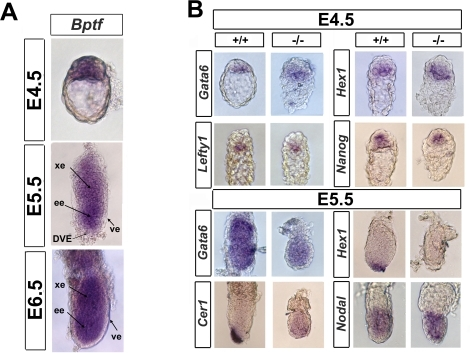 Bptf mutants are defective in the expression of distal visceral endoderm markers.(A) Wild type embryos were stained in whole mount for Bptf mRNA by in situ RNA hybridization at E4.5, E5.5, and E6.5. Bptf is expressed in the inner cell mass and primitive endoderm at E4.5 and in the embryonic and extra-embryonic tissues in E5.5 and E6.5 embryos. Abbreviations: ve, visceral endoderm; ee, embryonic ectoderm; xe, extra-embryonic ectoderm; DVE, distal visceral endoderm. (B) Whole mount in situ RNA hybridization analysis of wild type and mutant E4.5 and E5.5 embryos for Nanog, Gata6, Lefty1, Cer1, Hex1, and Nodal expression. At E4.5, Bptf mutant embryos show expression of Nanog, Gata6, Lefty1, and Hex1, suggesting that the primitive endoderm and inner cell mass is present in Bptf mutants. Mutant E5.5 embryos are defective in the expression of DVE markers Cer1 and Hex1, suggesting that mutants cannot form the DVE. Interestingly, the general visceral endoderm marker GATA6 is not expressed in the VE but rather in the embryonic ectoderm at E5.5.