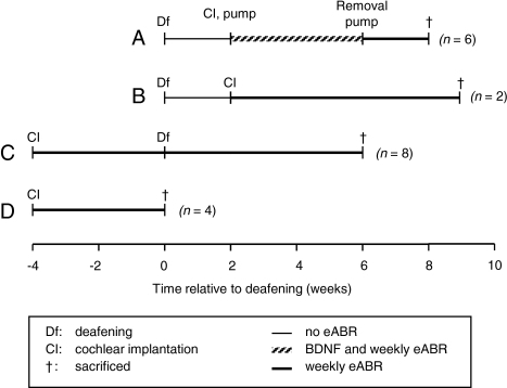 Treatment schedule of four different animal cohorts (A–D). A Deafened and 2 weeks later implanted and treated with BDNF; B deafened and 2 weeks later implanted; C first implanted and 4 weeks later deafened; D only implanted. Deafening was performed systemically affecting both ears. Cochlear implantation (A–D) and BDNF treatment (A) was applied to the right ear. After implantation, eABRs were regularly recorded in each group (by electrically stimulating the implanted right ear). For electrophysiological analysis, eABRs of the BDNF-treated animals (A) were compared to eABRs of normal-hearing animals (Cbefore deafening, D) and to eABRs of deafened animals (B, Cafter deafening). Note that data in normal-hearing and deafened conditions were obtained in the same animals (C). For histological analysis, the main comparison was made within the animals treated with BDNF (A): BNDF-treated right ears were compared to untreated left ears.