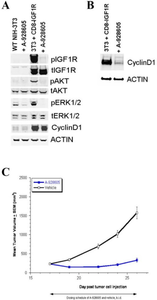 A-928605 abrogates modifications of IGF pathway signaling proteins in vitro and is efficacious in the CD8-IGF1R xenograft flank model in vivo. A, One hour of 1 mM A-928605 treatment in vector control and CD8-IGF1R cells results in inhibition of phosphorylation of the IGF1R cytotail and the immediate downstream pathway effectors AKT and ERK1/2. Cyclin D1 is a transcriptional target of the IGF signaling pathway and is therefore not affected by this one hour treatment. B, 24-hours of 1 mM A-928605 treatment in vector control and CD8-IGF1R cells results in a significant decrease in Cyclin D1 expression as seen here and in the microarray results (Figure 3). C, Beginning on day 17 post tumor cell injection, mice were dosed intraperitoneally with A-928605 at 50 mg/kg, twice daily (b.i.d)., or its vehicle for 10 days. At the end of the dosing schedule, the %T/C (A-928605 vs. vehicle) was 21 (P < 0.00001).