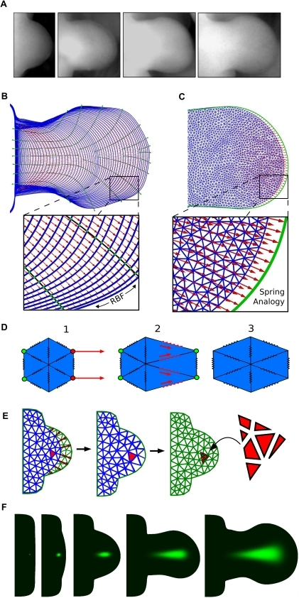 From morphologies to velocity vector fields.(A) A sequence of limb photos at different developmental stages. (B)The chronological sequence of limb morphologies derived from [28] (blue color) is overlaid by the boundary control splines (black lines). Intersection points between control splines and limb morphologies (green dots) define a set of control vectors that are interpolated using radial basis functions (RBF) onto the boundary mesh points. In this way a series of velocity vector fields is obtained (red arrows) which define how to displace the boundary mesh points to match the following mesh in the sequence. (C) Starting from the boundary displacement, a velocity vector field that displaces internal mesh points (red arrows) is calculated by using an edge spring analogy. (D) An example of deformation obtained with an edge spring analogy. 1) A deformation is applied to the boundary points of the mesh (red points) and the displacements of mesh points of the left-most boundary are fixed to zero (green points). 2) Edge springs of the triangles close to the deformation exercise tension forces to the neighboring triangles. 3) Relaxation of the forces to reach equilibrium provides a smooth deformation of the mesh. (E) A mesh (blue mesh) is deformed to match the next mesh in the sequence (green mesh). A triangle (red triangle) of the deformed mesh is split into the overlapping triangles of the next mesh by considering the respective areas of overlap (seven red segments on the right). (F) An example of virtual fate map. A triangular element is labeled with a green dye (probability equal to one) at early stages of development and its fate is simulated using the sequence of deformations and interpolations.