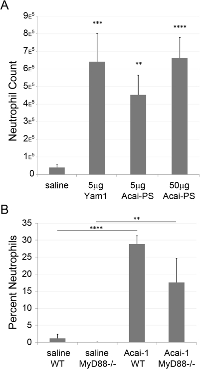 Acai polysaccharides induce MyD88-independent neutrophil influx to the peritoneum.A) BALB/c mice were injected intraperitoneally with saline, Acai, or Yam-1. After 4 h, mice were euthanized, peritoneal cells collected, and total neutrophil counts measured by flow cytometry. Data represent the average total cell count from a minimum of four mice per treatment group and error bars represent the SEM. B) C57BL/6 or MyD88−/− mice of mixed ages (12–23 weeks) and sexes were injected i.p with Acai-PS (400 µg) or saline and neutrophil flux was measured as in A) without the use of FACS beads to estimate total cell counts. The data are representative of the mean percentage of neutrophils in the wash ± SD from a single experiment with 3–4 mice/group. p-values (Student's T test) for both figures are represented as: *<0.05, **<0.01, ***<0.005, ****<0.001.