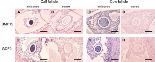 Localization Of BMP15 And GDF9 MRNA In Antral Follicles A D