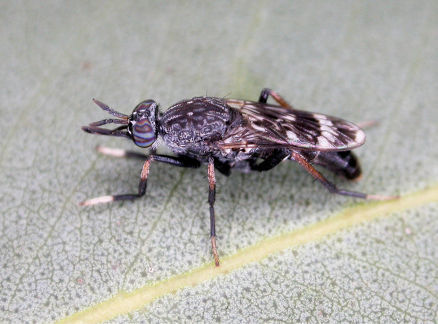 Acupalpa yanchep sp. n., female, Yanchep, Western Australia. Body length= 9.0 mm. (Photo: S.L. Winterton).