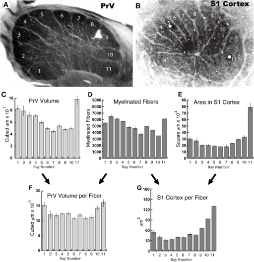 "Comparison of myelinated fiber counts, PrV ray volumes, and cortical ray areas.A–B. A section of the principal nucleus (PrV) containing the star representation compared to a flattened section of cortex showing the primary somatosensory representation of the star (S1 Cortex), both processed for cytochrome oxidase. The areas of the ray representations in ""A"" are similar to the total PrV volumes of the ray representations from reconstructions of serial sections. Thus these images illustrate the general finding that ray 11, the tactile fovea, is more greatly over-represented at the level of the cortex (B) than in the brainstem (A). C. The mean PrV volumes for each ray representation (1–11) from the 4 reconstructed cases. D. Myelinated fiber counts for the 11 rays of 4 moles from a previous study [17]. E. Areas of cortex representing the rays of 4 moles from a previous study [17]. F. The mean volume of each ray representation in PrV per fiber (ratio of C to D). G. The mean S1 cortex per fiber for each ray representation (ratio of E to D). Note that D, E, and G (darker histograms) are from a previous investigation in 4 moles (adapted from[17]), whereas C and F are from the present study in 4 different moles. Bars in C–G are SEM."