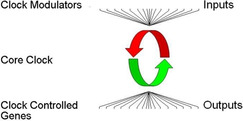 "Organization of the extended clock network.The core clock oscillator is a set of ∼18 genes that encode for transcriptional regulators (middle). These proteins are organized in complex feedback loops with positive (green) and negative (red) limbs that generate the ∼24 hr rhythms in gene expression responsible for maintaining circadian rhythms. Upstream clock modulators influence the period and/or amplitude of rhythms by altering protein stability, cellular distribution, or phosphorylation of proteins within the core clock (top). Core clock transcriptional regulators generate expression rhythms in numerous downstream clock controlled genes that are not the ""gears of the clock"" involved in generating rhythms, but may be important effectors or ""hands of the clock"" (bottom)."