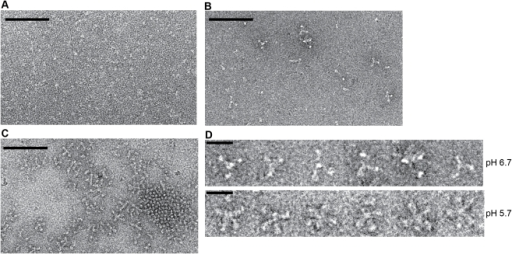 Electron microscopy on negatively stained Gth at pH 7.5, pH 6.7 and pH 5.7.(A) At pH 7.5, no oligomer of Gth is detected and a definite molecular shape cannot be identified. (B) At pH 6.7 a few Gth assemblies can be detected. (C) At pH 5.7 Gth trimers are observed assembled either in lattice via lateral interactions or in rosette-like assemblies. Protein concentration was 0.1 mg/mL for all 3 samples. The scale bar is for 100 nm. (D) Close up view of Gth rosettes observed at pH 6.7 and 5.7. Notice the differences in the aspect of the protein assemblies. The scale bar is for 20 nm.