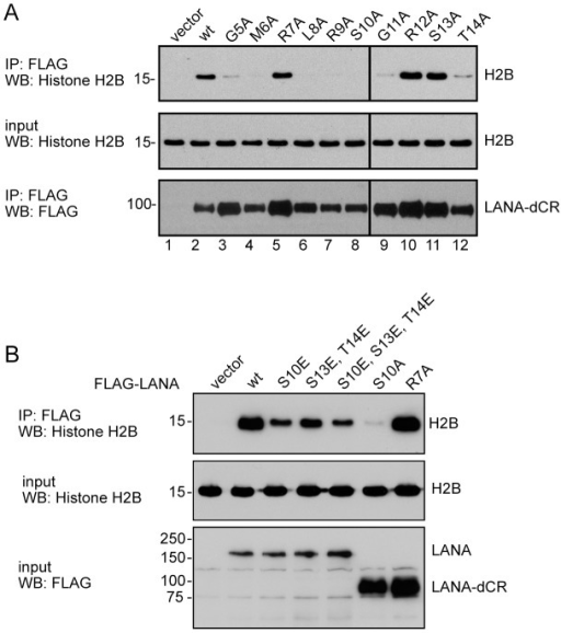 Phosphomimetic mutations of LANA S10 and T14 rescue histone binding.A. Western blots showing the effect on binding to histone H2B of individual alanine substitutions across the LANA chromatin binding domain. Flag-LANA was immunoprecipitated from transfected HEK293T cells and the bound endogenous H2B was detected using anti-H2B antibody. B. Western blots showing the effect of individual and grouped phosphomimetic mutations at S10, S13 and T14 on LANA binding to H2B. Flag-LANA or Flag-LANA deleted for the central repeats (dCR) was immunoprecipitated from transfected HEK293T cells and the bound endogenous H2B was detected using anti-H2B antibody.
