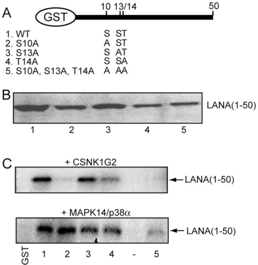 Phosphorylation of GST-LANA(1–50).A. Diagram of the GST-LANA aa 1–50 wild-type (1) and mutant constructions (2–5) showing the amino acid changes at positions 10, 13 and 14 in the chromatin binding domain. B. Coomassie brilliant blue staining of the purified GST-LANA(1–50) wild-type (1) and mutant (2–5) proteins used in the phosphorylation assays. C. Examples of in vitro phosphorylation assays in which GST-LANA(1–50) wild-type and mutant proteins were incubated with CSNK1G2 or MAPK14/p38a kinases. (−), minus peptide.