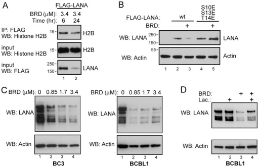 Longer exposure to RSK inhibitor decreases LANA protein levels.A. Western blot of Flag-LANA transfected cells showing that the further reduction in LANA interaction with endogenous histone H2B that occurs upon long-term inhibitor exposure is co-incident with a decrease in Flag-LANA protein levels. B. Western blot comparing the effect of 24 hr exposure to RSK inhibition on LANA levels in wt Flag-LANA or Flag-LANA [S10E, S14E, T14E] transfected cells. C. Western blots showing the effect of increasing doses of BRD 7389 on LANA protein levels in PEL cells. D. Western blot showing the effect of the proteasome inhibitor lactacystin on LANA protein levels in BCBL1 cells treated with RSK inhibitor.