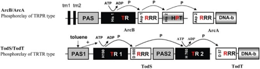Schematic representation of domain organization and mode of action of phosphorelay two‐component systems. A. The ArcB/ArcA phosphorelay. This system belongs to the TRPR type of phosphorelay according to the classification proposed by Williams and Whitworth (2010). B. The TodS/TodT system that belongs to the TRTR type of phosphorelays. The sequence of phosphoryl group transfer is indicated. tm, transmembrane region; PAS, Per‐Arnt‐Sim type of sensor domain; TR, transmitter module comprised of a dimerization/histidine phosphotransfer domain and a catalytic domain; RRR, response regulator receiver domain; HPT, histidine containing phosphotransfer domain; DNA‐b, DNA‐binding domain.