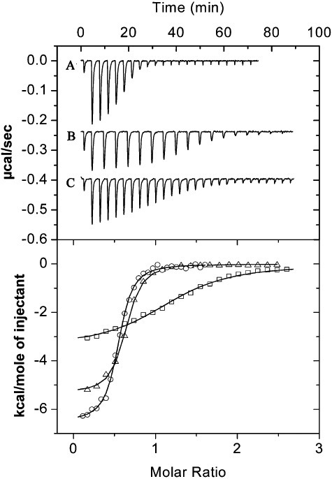Binding of effector molecules to the purified TmoS. Shown are microcalorimetric titrations of 10 µM TmoS with 500 µM benzene (A), toluene (B) and ethylbenzene (C). Injection volumes were 1.6 µl for (B) and 3.2 µl for (A) and (C). Upper panel: titration raw data. Lower panel: Integrated and dilution‐corrected peak areas of raw data. Data were fitted with the 'One binding site model' of the MicroCal version of ORIGIN. ▵: benzene; ο: toluene; □, ethylbenzene. The derived thermodynamic parameters are given in Table 1.