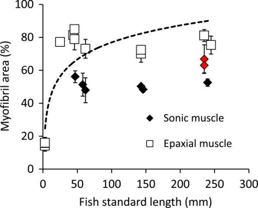 Proportion of myofibril areas (Mean ± SD; in %) in sonic and epaxial muscle fiber in Pygocentrus nattereri of different sizes. The dotted line corresponds to the logarithm tendency for the epaxial muscle. The red dots represent the proportion of myofibril in the sonic muscle of mute fish in size class 5.