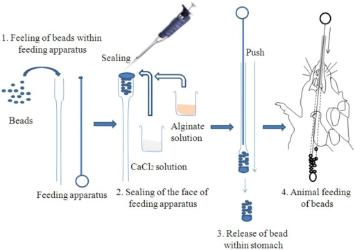 Schematic diagram of oral delivery procedure of alginate coated ASVS beads.