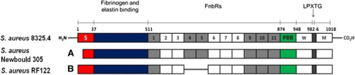 Comparison of the FnbA found in RF122 and N305 with that ofS. aureus8325.4. The FnbA in S. aureus 8325.4 (SWISS-Prot P14738) contains 11 Fn-binding sites. FnbA from S. aureus Newbould 305 (A) and RF122 (B) showing the approximate positions of the predicted fibronectin binding regions (FnbRs). High-affinity FnbRs are shaded. Signal peptide (S) in red, proline-rich repeats (PRR) in green; cell wall-spanning sequence (W) in white; membrane-spanning region (M) in white.