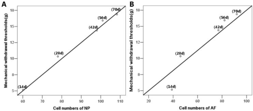 The correlations between the mechanical withdrawal thresholds and the cell counts of CFA exercise group. (A) The mechanical withdrawal thresholds were closely related to the increased cell numbers of nucleus pulposus (NP) (r = 0.98, p ˂ 0.01); (B) The tight correlation was also observed in annulus fibrosus (AF) (r = 0.96, p ˂ 0.01). The correlations between pain relief and cell counts of NP and AF were determined by Spearman rank correlation. n = 8 in each CFA exercise group.