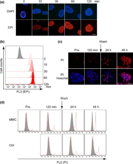 Delivery of chemotherapeutic agents into cancer-tissue originated spheroids (CTOS), and plasma membrane integrity of CTOS after exposure to high-dose chemotherapeutics. (a) Intrinsic fluorescence of epirubicin (EPI) (red) was captured on formalin-fixed, paraffin-embedded CTOS sections. CTOS were exposed to EPI (1 mg/mL) for the indicated time. Nuclei were counterstained with DAPI (blue). Scale bar, 100 μm. (b) Flow cytometric analysis of the intrinsic fluorescence of EPI in CTOS. CTOS were exposed to EPI (1 mg/mL) for the indicated time. (c, d) Loss of plasma membrane integrity was evaluated by propidium iodide (PI) (red) using fluorescence microscopy (c [scale bar, 100 μm]) and flow cytometry (d). CTOS were exposed to control medium or mitomycin C (MMC) (1 mg/mL) for 2 h, and were washed and incubated for an additional 48 h.